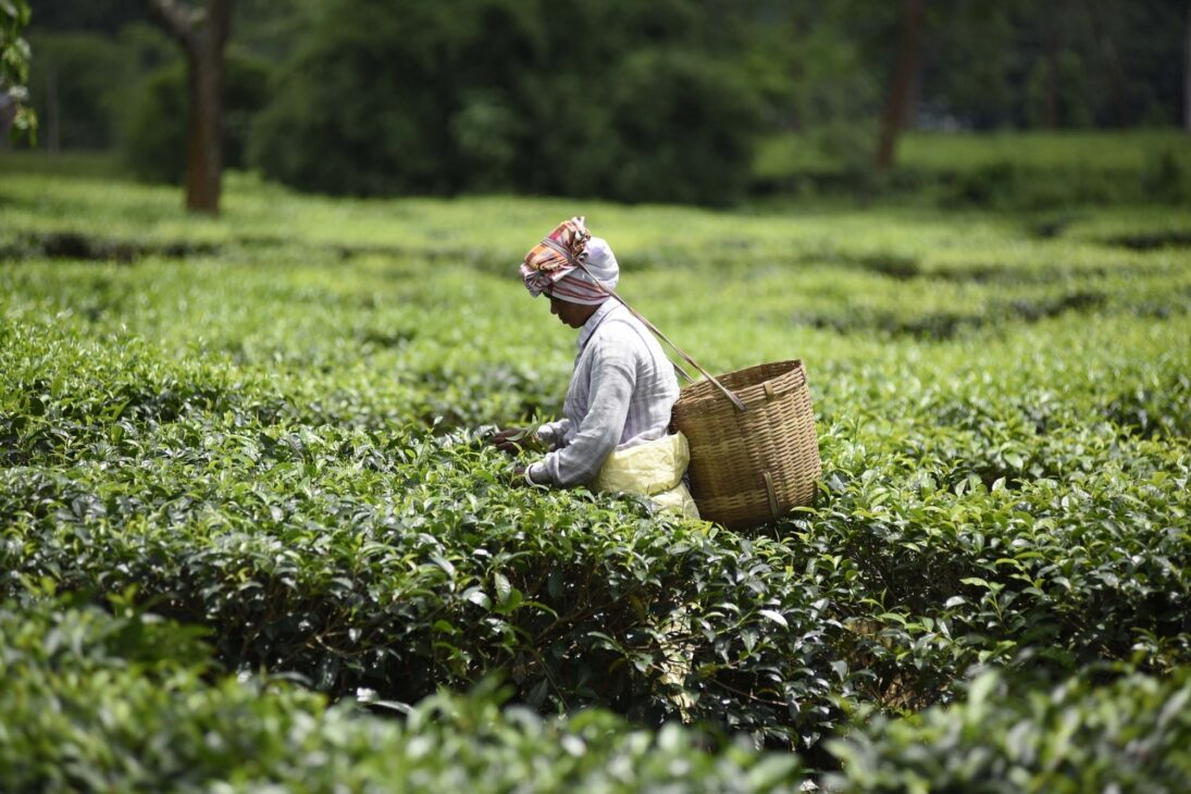 Tea business all set to return in Doon valley