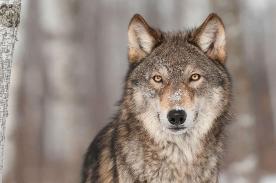 How grey wolves survived ice-age extinction