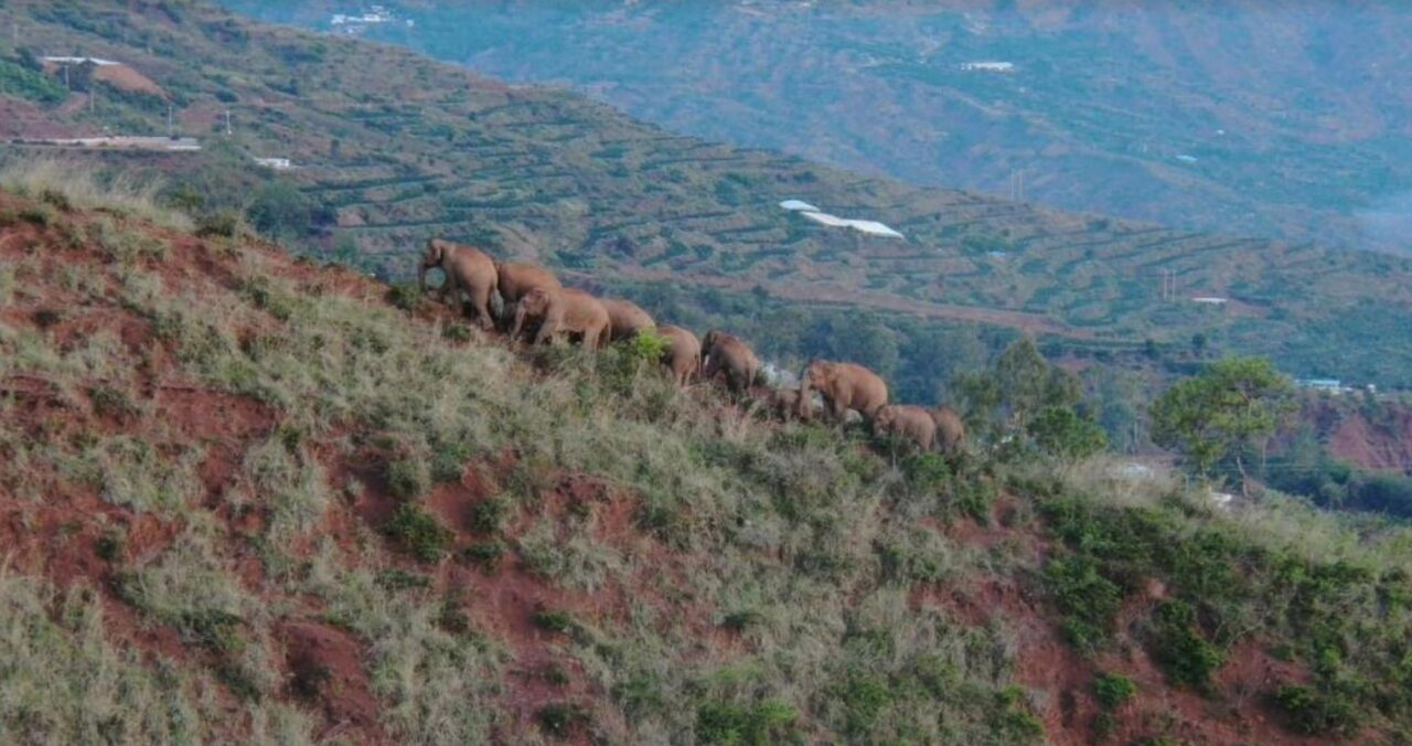 China's migrating elephant herd travels further south
